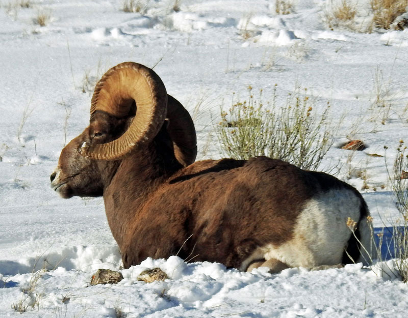 Bighorn Sheep near Elk Refuge Road
